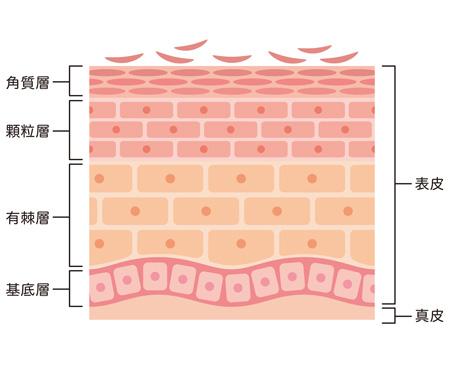 皮膚の断面図の画像