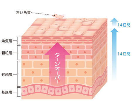 皮膚の構造の画像