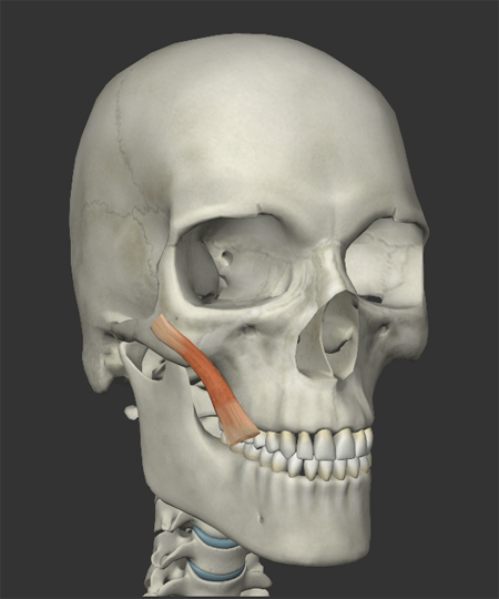 頬の筋肉の画像1