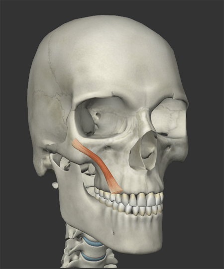 頬の筋肉の画像2