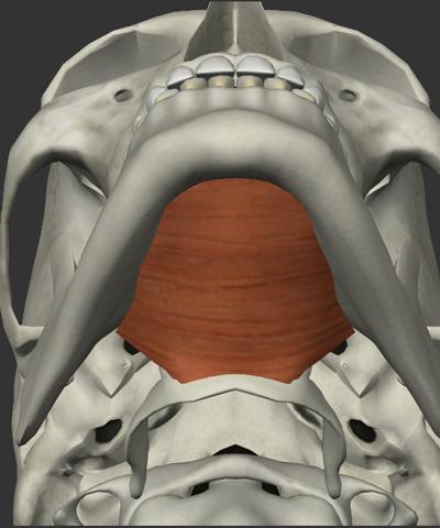 顎舌骨筋の画像