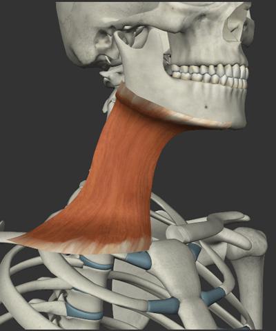広頸筋の画像