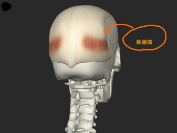 あたまの筋肉 後頭筋の画像