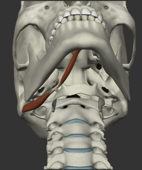 額二腹筋の画像