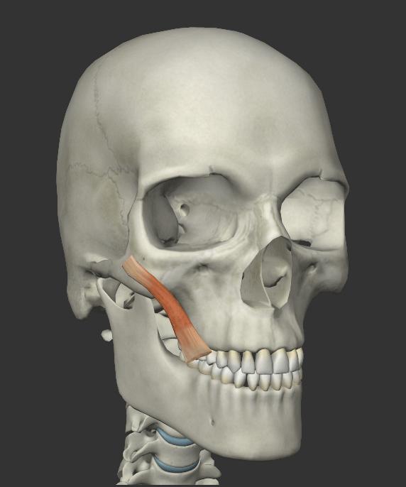 大頬骨筋の画像