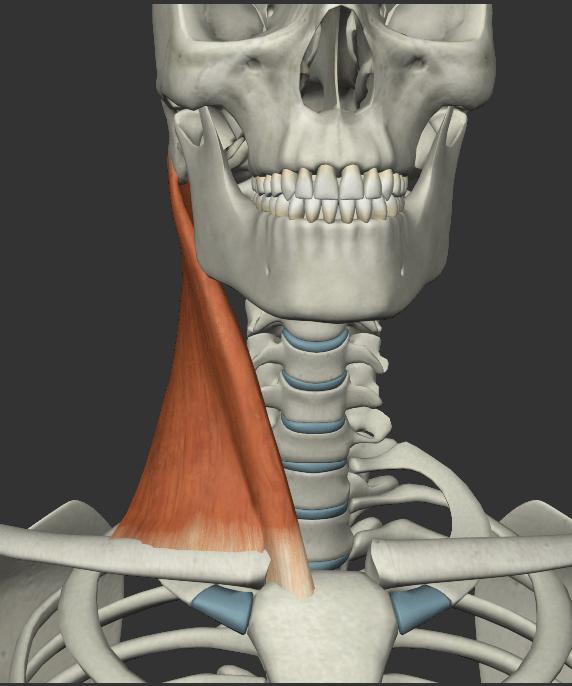 胸鎖乳突筋の画像