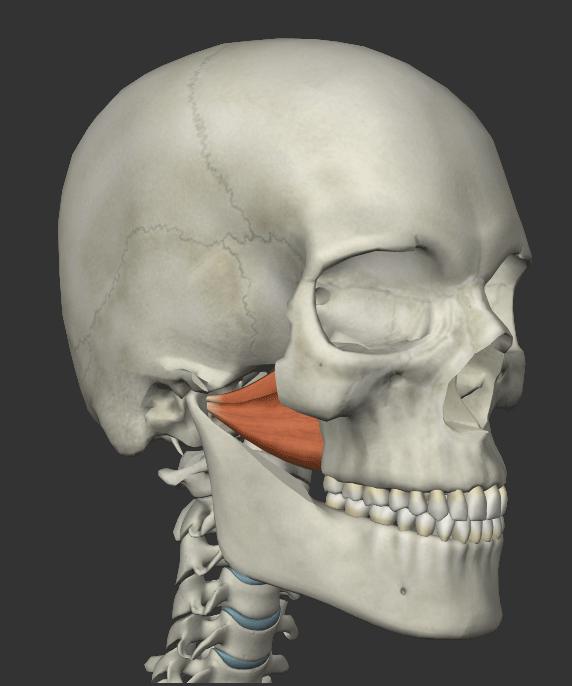 外側翼突筋の画像