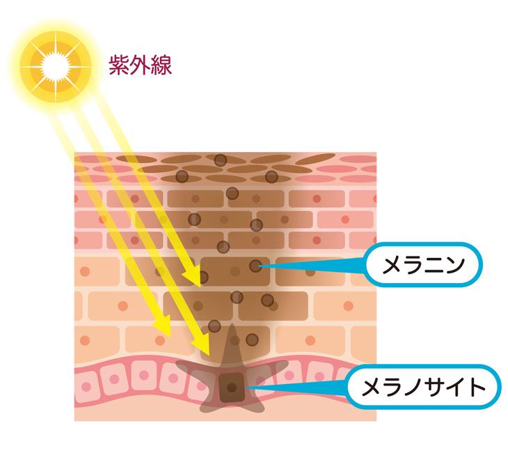 茶クマができるメカニズムの説明画像