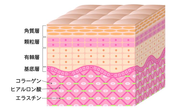 角質層の画像